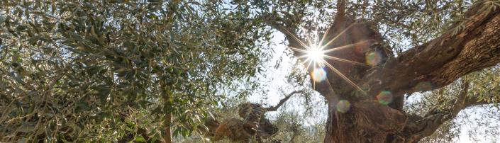 olivera con sol en la Comunitat Valenciana 1500x430